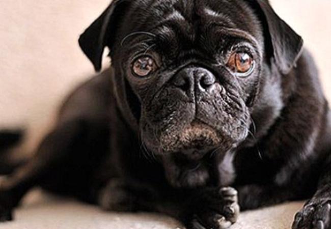 Cara Mengobati Distemper Pada Anjing