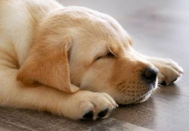 Penyakit Distemper Pada Anjing Dan Apa Gejalanya