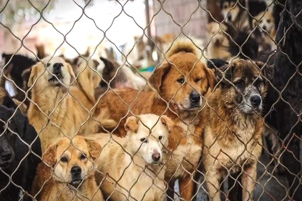 China Rescue Dogs Berhasil Menyelamatkan Lebih Dari 200 Anjing Dari Penyalahgunaan Daging Anjing