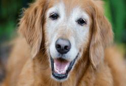Mengapa Anjing Menua Lebih Cepat Daripada Manusia?