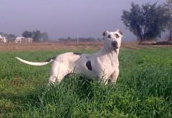 Bully Kutta Anjing Tangguh Dari India Dan Pakistan