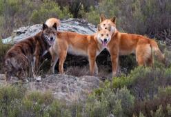 Warna Hanya Sedikit Membantu Dalam Membedakan Dingo Dan Anjing Liar