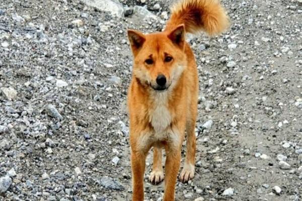 Anjing Penyanyi Papua Muncul Kembali Dari Kepunahan
