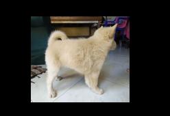 Anjing Kintamani Bali-AKB